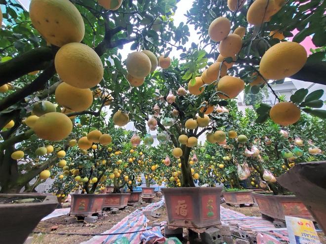 Ngắm vườn bưởi cảnh chơi Tết bạc tỷ ở Hà Nội, 40 triệu đồng/cây 120 quả - Ảnh 7.