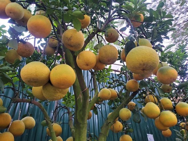Ngắm vườn bưởi cảnh chơi Tết bạc tỷ ở Hà Nội, 40 triệu đồng/cây 120 quả - Ảnh 6.