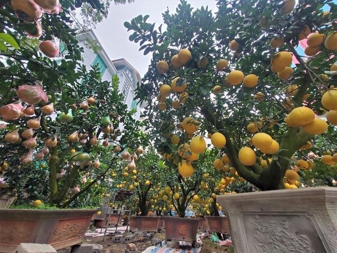 Ngắm vườn bưởi cảnh chơi Tết bạc tỷ ở Hà Nội, 40 triệu đồng/cây 120 quả - Ảnh 8.