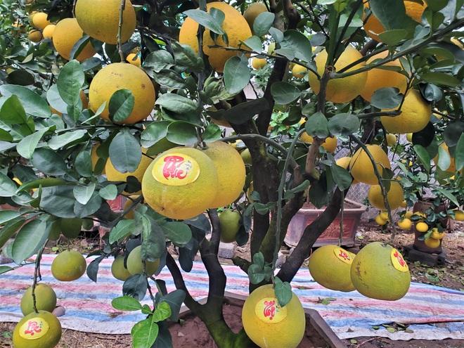 Ngắm vườn bưởi cảnh chơi Tết bạc tỷ ở Hà Nội, 40 triệu đồng/cây 120 quả - Ảnh 2.