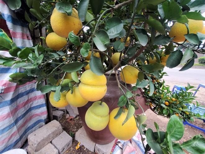 Ngắm vườn bưởi cảnh chơi Tết bạc tỷ ở Hà Nội, 40 triệu đồng/cây 120 quả - Ảnh 3.