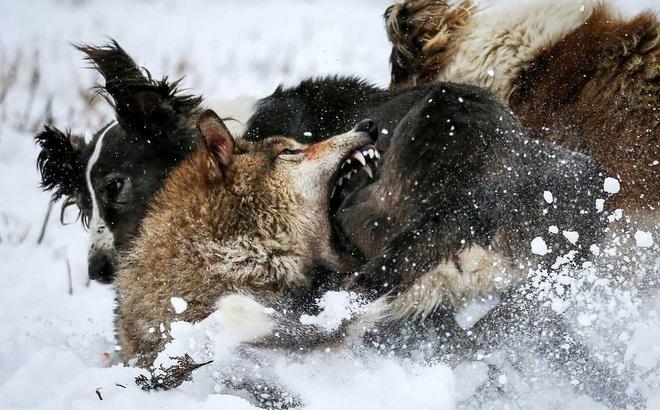 24h qua ảnh: Sói hoang chống trả quyết liệt đàn chó săn