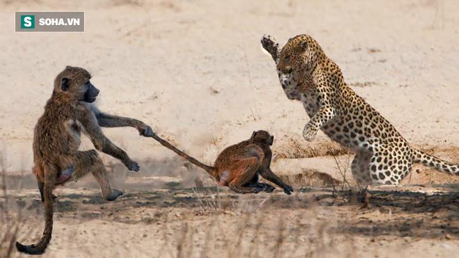 Báo hoa mai phi thân như cắt lên cây khiến khỉ đầu chó nhận kết cục bi thảm - Ảnh 1.