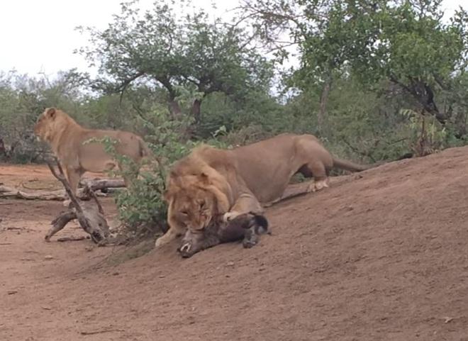 Xuống tay tàn nhẫn, sư tử thẳng thừng giết chết con của kẻ thù - Ảnh 1.