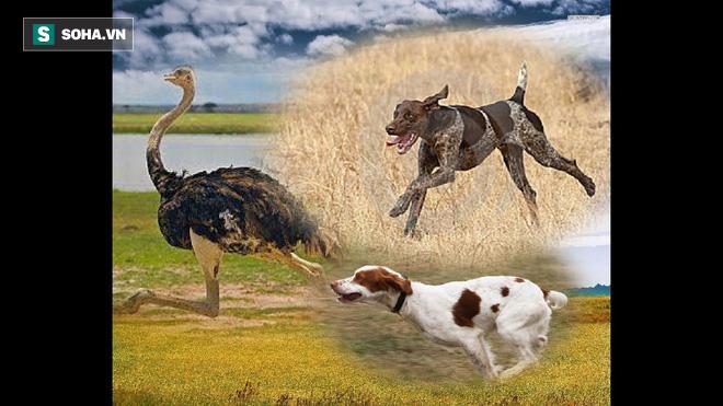 Đà điểu bị bầy chó săn rượt đuổi: Cuộc đua tốc độ sẽ có kết quả ra sao? - Ảnh 1.