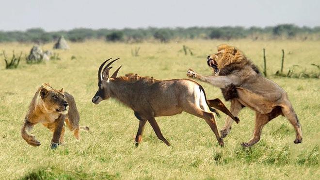 Sát thủ gặp khó khi đi săn. cặp sư tử cái bị linh dương đánh văng khi cố tấn công  - Ảnh 2.