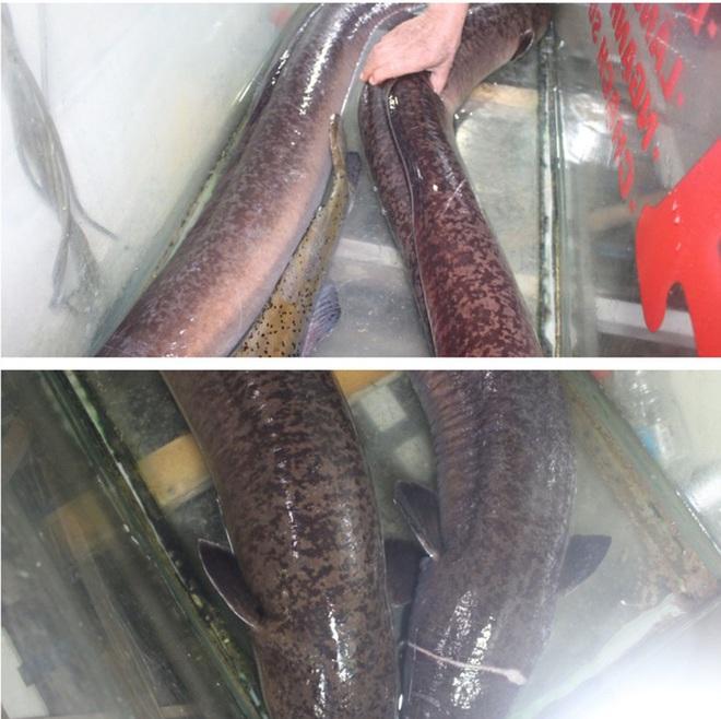 Bắt được cặp đôi cá lệch dài gần 2m trên sông Lam - Ảnh 1.