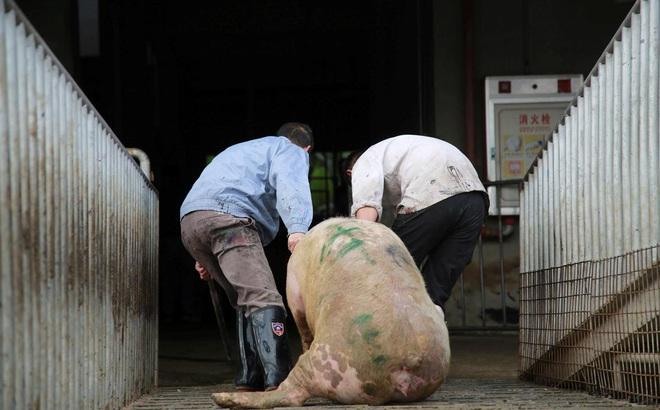 """Trung Quốc báo tin """"đại hỷ"""", khủng hoảng thịt lợn vẫn nghiêm trọng: Cả thế giới không giúp nổi"""
