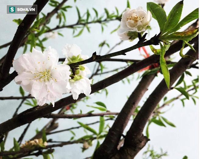 Chưa nở hoa, cây bạch đào độc nhất tại Nhật Tân vẫn được trả giá thuê 40 triệu đồng - Ảnh 3.