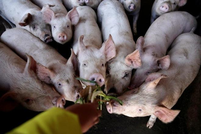 Trung Quốc báo tin đại hỷ, khủng hoảng thịt lợn vẫn nghiêm trọng: Cả thế giới không giúp nổi - Ảnh 2.