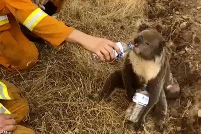 Nắng nóng, cháy rừng dữ dội ở Australia: Gấu koala khát khô, phải chạy đi xin người qua đường cho uống nước - Ảnh 10.