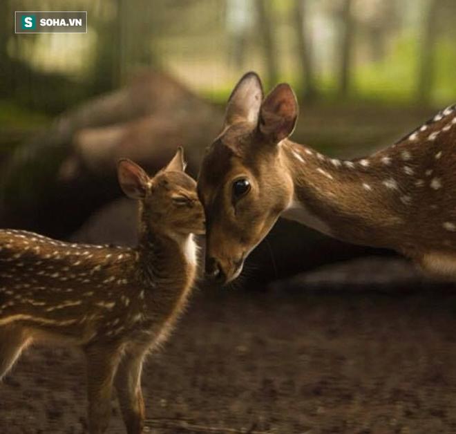 Để bảo vệ con, hươu mẹ tung vó điên cuồng, đánh cho chó sói tối tăm mặt mũi - Ảnh 1.