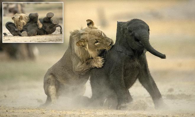 Như diễn tuồng, sư tử vừa bấu víu vừa nhảy lò cò để săn cho được voi con - Ảnh 2.