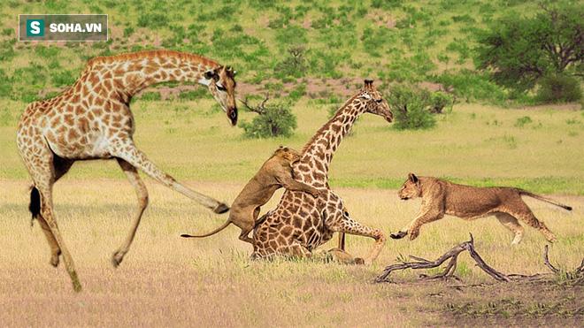 Vắt chân lên cổ hươu cao cổ cũng không thoát khỏi bầy sư tử háu đói - Ảnh 1.