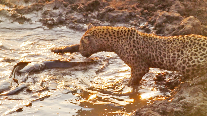Chuột sa chĩnh gạo: Báo đốm lang thang bất ngờ tìm được bữa buffet đầy đặn - Ảnh 1.
