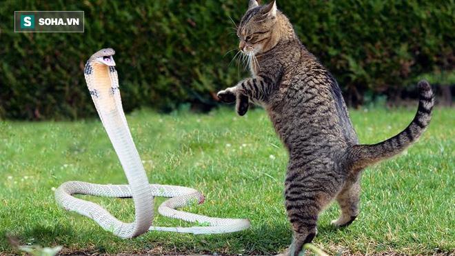 Hổ mang bị mèo chặn đường, cuộc chiến căng thẳng có kết cục đầy bất ngờ - Ảnh 1.