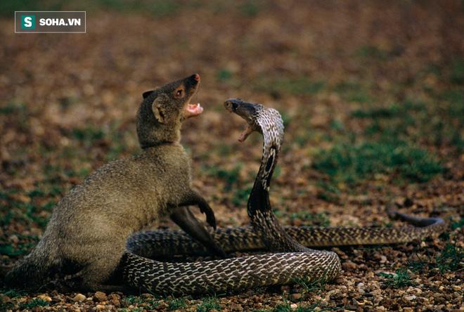 Hổ mang phun nọc độc vào mắt kẻ thù: Kết cục cay đắng không ai muốn nhìn - Ảnh 1.