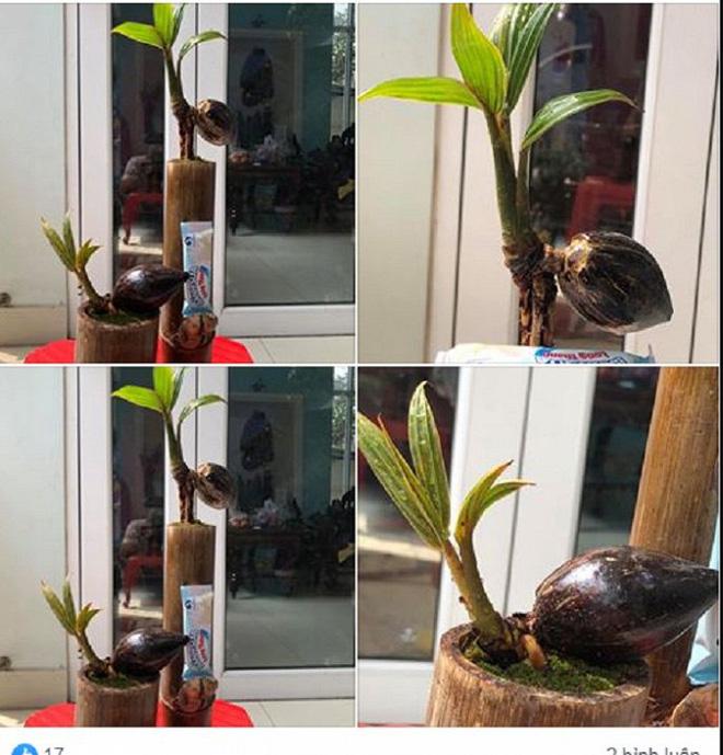 Mãn nhãn bonsai dừa mini siêu độc chơi Tết - Ảnh 1.
