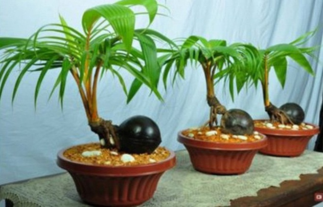 Mãn nhãn bonsai dừa mini siêu độc chơi Tết - Ảnh 2.
