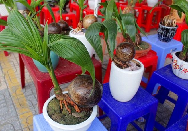 Mãn nhãn bonsai dừa mini siêu độc chơi Tết - Ảnh 12.