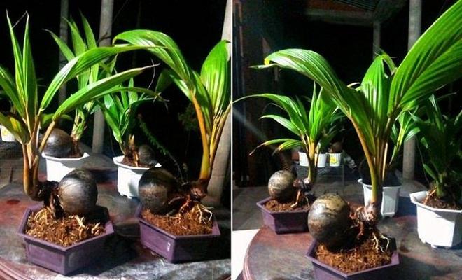 Mãn nhãn bonsai dừa mini siêu độc chơi Tết - Ảnh 3.