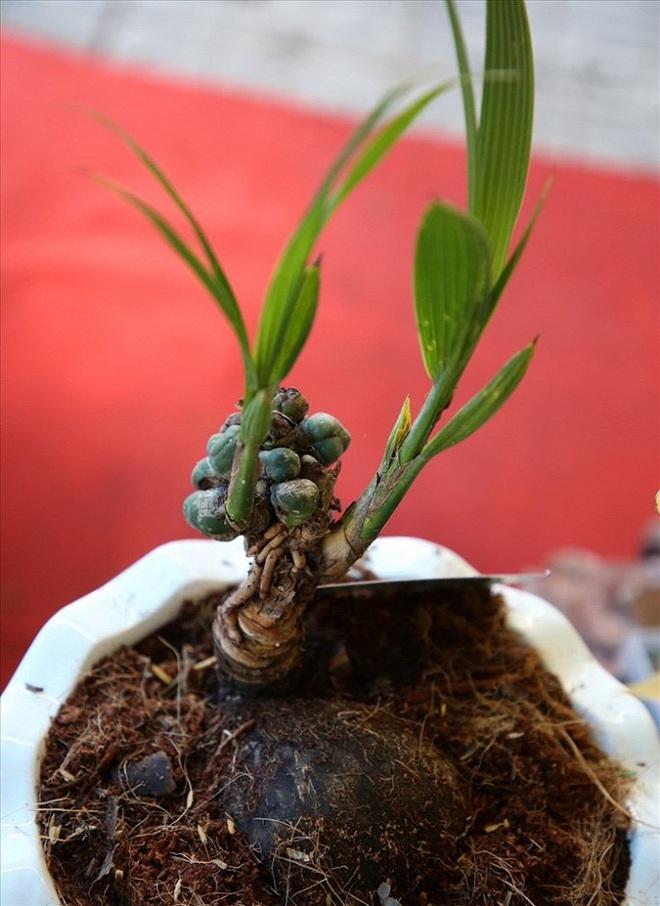 Mãn nhãn bonsai dừa mini siêu độc chơi Tết - Ảnh 4.