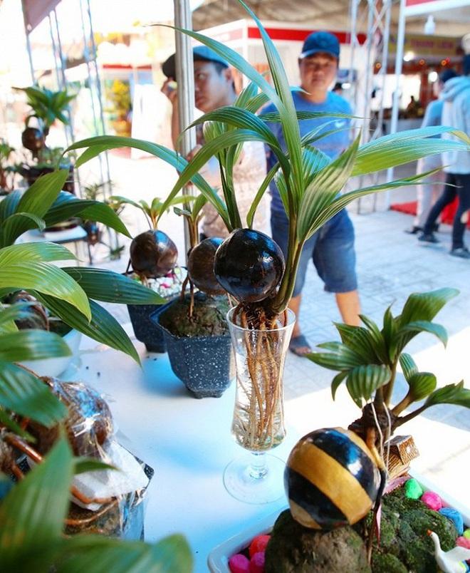 Mãn nhãn bonsai dừa mini siêu độc chơi Tết - Ảnh 6.