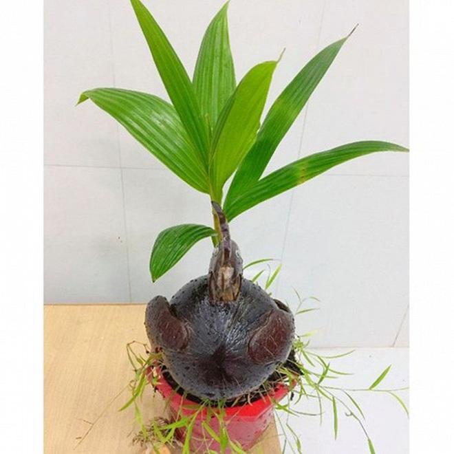 Mãn nhãn bonsai dừa mini siêu độc chơi Tết - Ảnh 7.