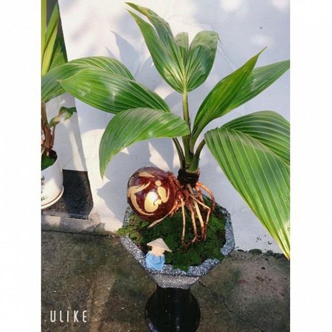 Mãn nhãn bonsai dừa mini siêu độc chơi Tết - Ảnh 8.