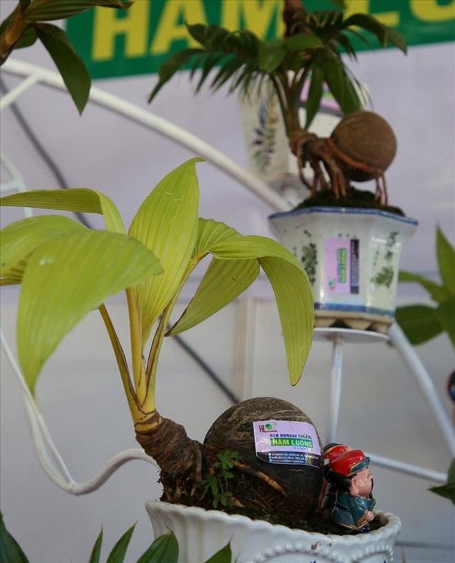 Mãn nhãn bonsai dừa mini siêu độc chơi Tết - Ảnh 9.