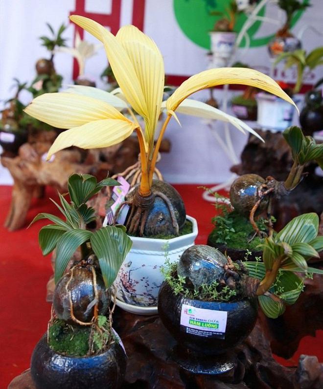 Mãn nhãn bonsai dừa mini siêu độc chơi Tết - Ảnh 10.