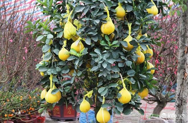 Đã mắt ngắm cây quýt cổ thụ giá gần trăm triệu đồng ở thành Vinh - Ảnh 3.