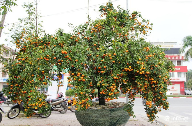 Đã mắt ngắm cây quýt cổ thụ giá gần trăm triệu đồng ở thành Vinh - Ảnh 5.