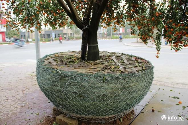 Đã mắt ngắm cây quýt cổ thụ giá gần trăm triệu đồng ở thành Vinh - Ảnh 7.