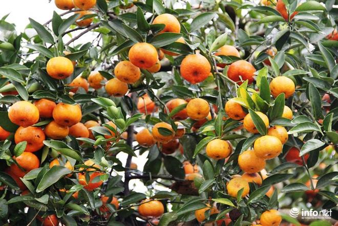 Đã mắt ngắm cây quýt cổ thụ giá gần trăm triệu đồng ở thành Vinh - Ảnh 10.