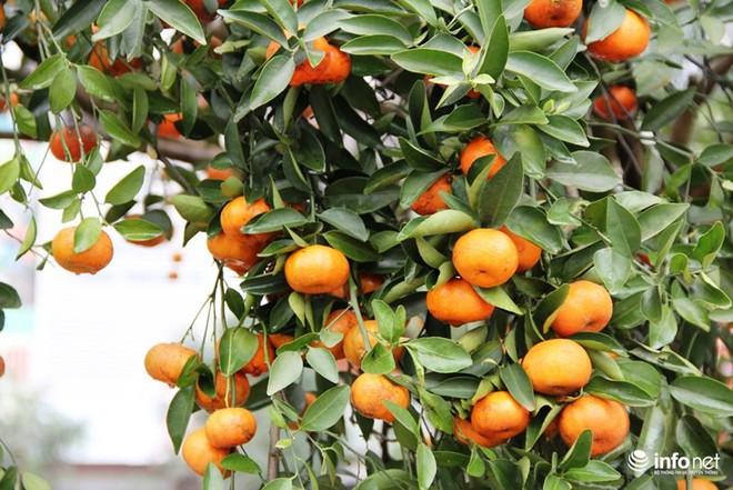 Đã mắt ngắm cây quýt cổ thụ giá gần trăm triệu đồng ở thành Vinh - Ảnh 12.