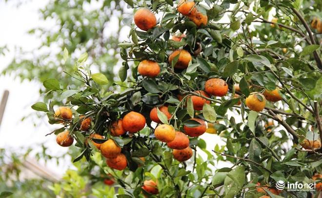 Đã mắt ngắm cây quýt cổ thụ giá gần trăm triệu đồng ở thành Vinh - Ảnh 13.