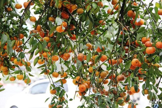 Đã mắt ngắm cây quýt cổ thụ giá gần trăm triệu đồng ở thành Vinh - Ảnh 14.