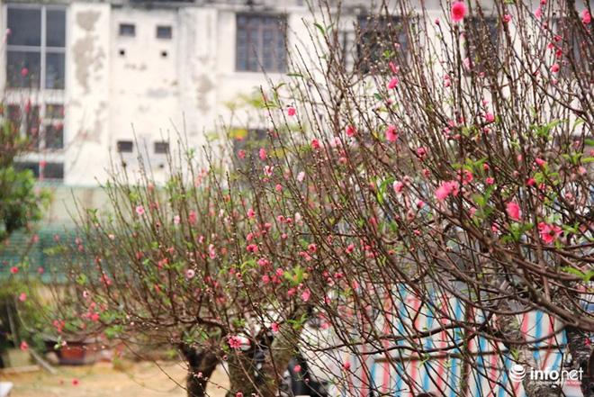 Đã mắt ngắm cây quýt cổ thụ giá gần trăm triệu đồng ở thành Vinh - Ảnh 15.