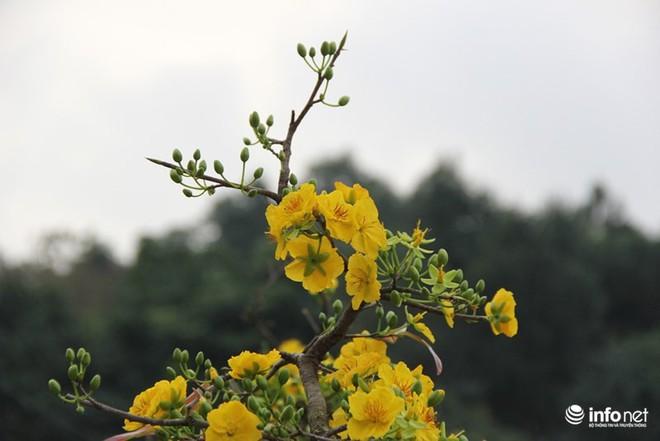 Đã mắt ngắm cây quýt cổ thụ giá gần trăm triệu đồng ở thành Vinh - Ảnh 16.