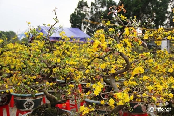 Đã mắt ngắm cây quýt cổ thụ giá gần trăm triệu đồng ở thành Vinh - Ảnh 17.