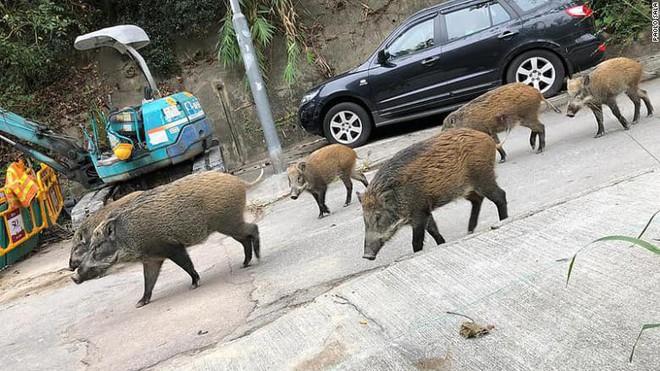 Lợn rừng xuất hiện từng đàn, chạy điên cuồng trong khu dân cư, sân bay và trung tâm thương mại ở Hồng Kông - Ảnh 4.