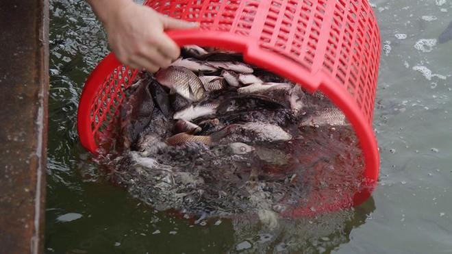 Hàng nghìn người chuyền tay nhau phóng sinh hơn 10 tấn cá ở Sông Hồng - Ảnh 8.