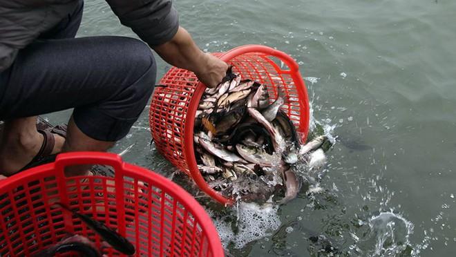 Hàng nghìn người chuyền tay nhau phóng sinh hơn 10 tấn cá ở Sông Hồng - Ảnh 10.