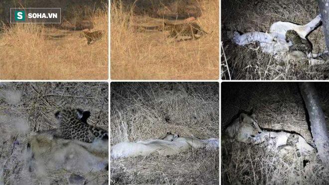 Hiện tượng hiếm: Sư tử cái nhận nuôi báo con, hết mực bảo vệ trước sư tử khác - Ảnh 1.