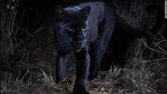 Huyền thoại báo đen châu Phi là có thật: Báo hoa đen siêu hiếm lần đầu tiên xuất hiện sau 100 năm - Ảnh 1.