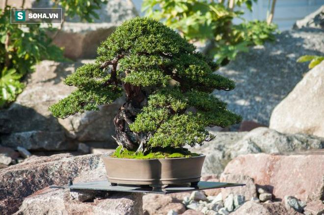 Cây bonsai 400 tuổi, giá 50.000 USD ở Nhật bị trộm: Chủ nhân đưa ra lời khẩn cầu hiếm có - Ảnh 1.