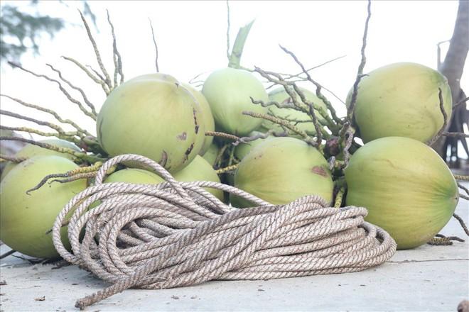 Mưu sinh trên những ngọn dừa ở đảo dừa Tam Hải - Ảnh 5.