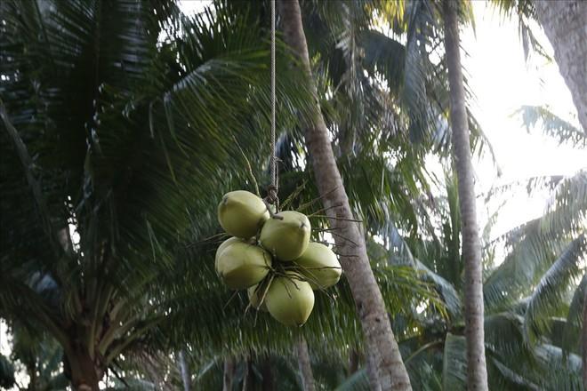 Mưu sinh trên những ngọn dừa ở đảo dừa Tam Hải - Ảnh 6.