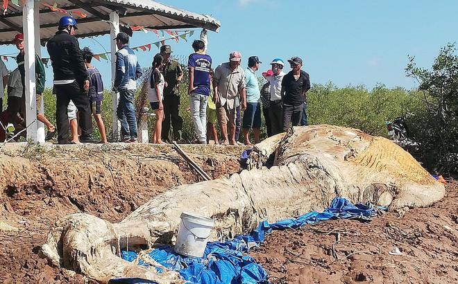 Xử lý xác cá voi 'khủng' đang phân hủy ở Bạc Liêu